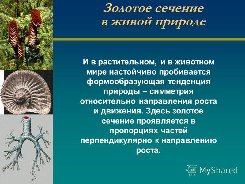 Золотое сечение в живой природе И в растительном, и в животном мире настойчиво пробивается формообразующая тенденция природы – симметрия относительно направления роста и движения. Здесь золотое сечение проявляется в пропорциях частей перпендикулярно