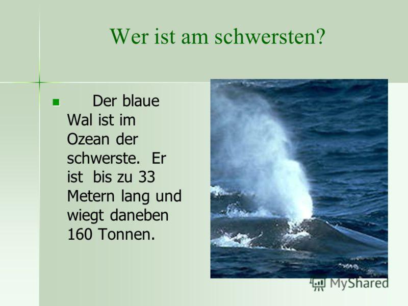 Wer ist am schwersten? Der blaue Wal ist im Ozean der schwerste. Er ist bis zu 33 Metern lang und wiegt daneben 160 Tonnen.