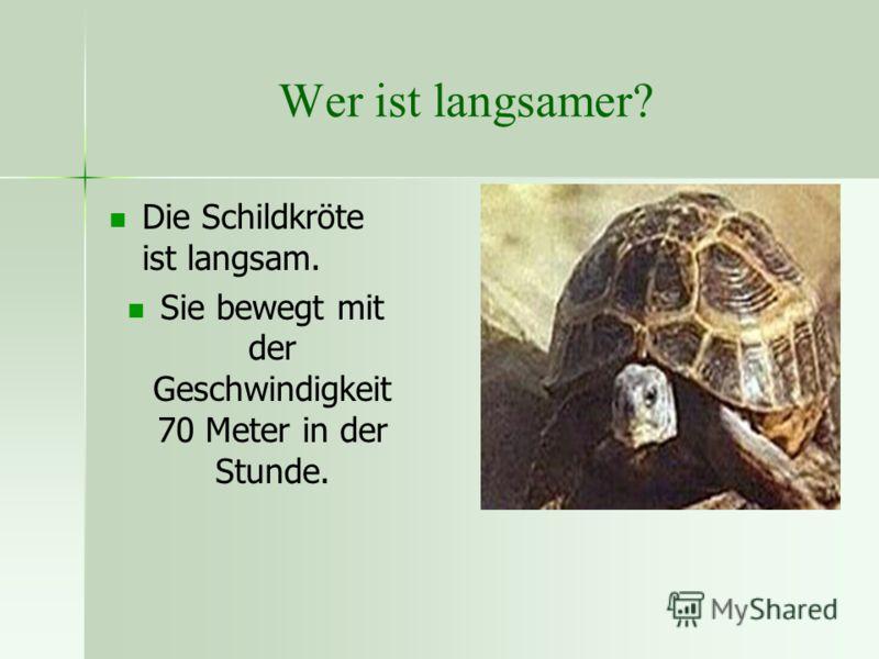 Wer ist langsamer? Die Schildkröte ist langsam. Sie bewegt mit der Geschwindigkeit 70 Meter in der Stunde.