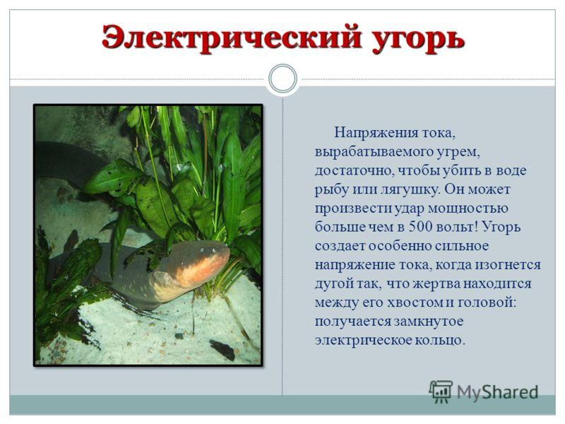 Напряжения тока, вырабатываемого угрем, достаточно, чтобы убить в воде рыбу или лягушку. Он может произвести удар мощностью больше чем в 500 вольт! Угорь создает особенно сильное напряжение тока, когда изогнется дугой так, что жертва находится между