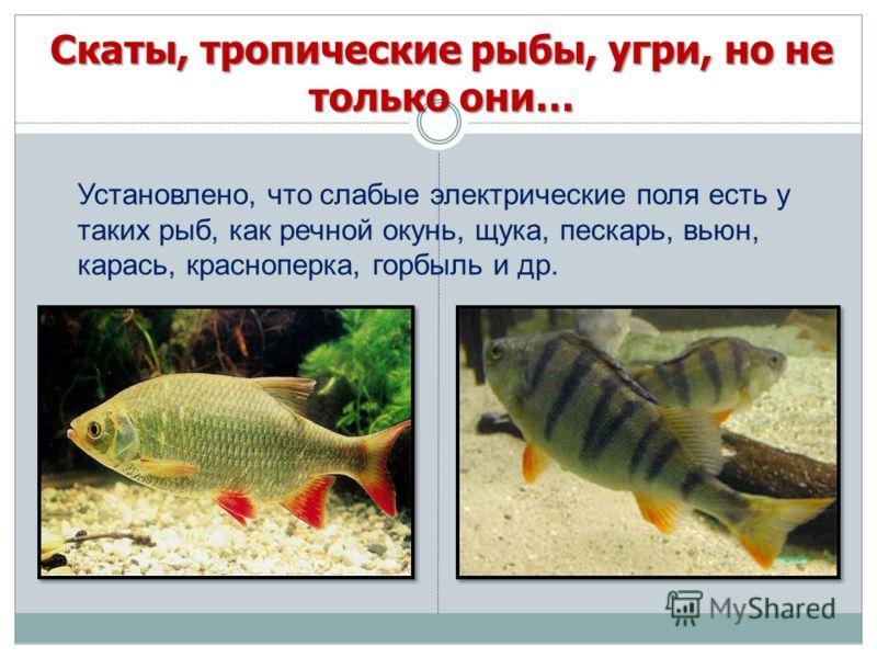 Установлено, что слабые электрические поля есть у таких рыб, как речной окунь, щука, пескарь, вьюн, карась, красноперка, горбыль и др.