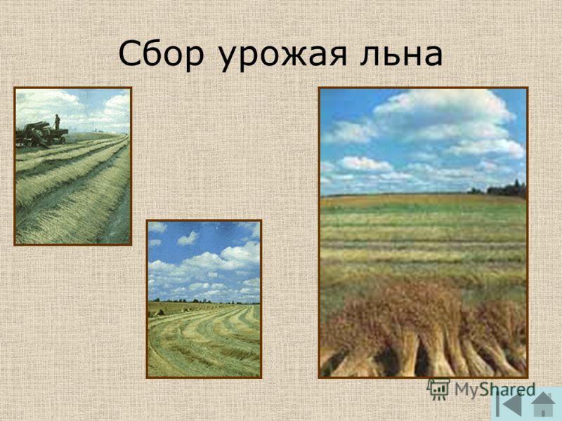 Сбор урожая льна