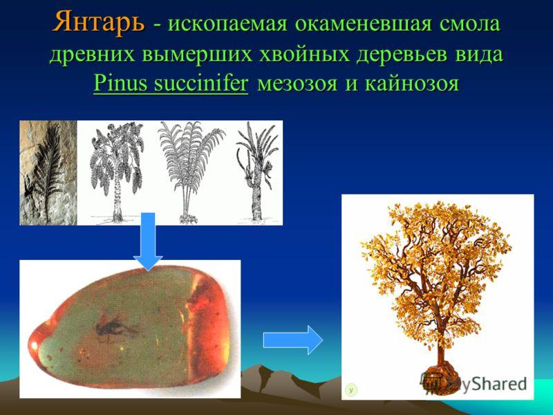 Янтарь - ископаемая окаменевшая смола древних вымерших хвойных деревьев вида Pinus succinifer мезозоя и кайнозоя