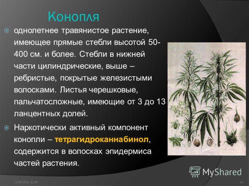 Конопля однолетнее травянистое растение, имеющее прямые стебли высотой 50- 400 см. и более. Стебли в нижней части цилиндрические, выше – ребристые, покрытые железистыми волосками. Листья черешковые, пальчатосложные, имеющие от 3 до 13 ланцентных доле