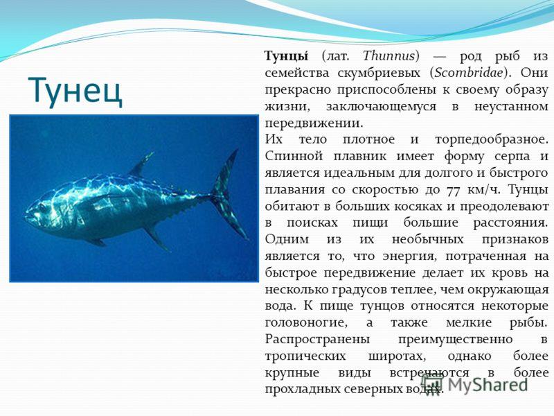 Тунец Тунцы́ (лат. Thunnus) род рыб из семейства скумбриевых (Scombridae). Они прекрасно приспособлены к своему образу жизни, заключающемуся в неустанном передвижении. Их тело плотное и торпедообразное. Спинной плавник имеет форму серпа и является ид