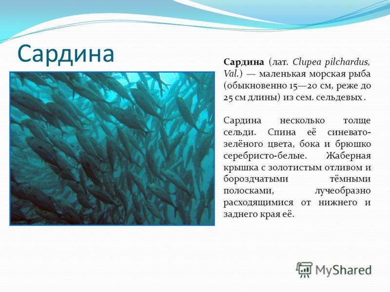 Сардина Сардина (лат. Clupea pilchardus, Val.) маленькая морская рыба (обыкновенно 1520 см, реже до 25 см длины) из сем. сельдевых. Сардина несколько толще сельди. Спина её синевато- зелёного цвета, бока и брюшко серебристо-белые. Жаберная крышка с з
