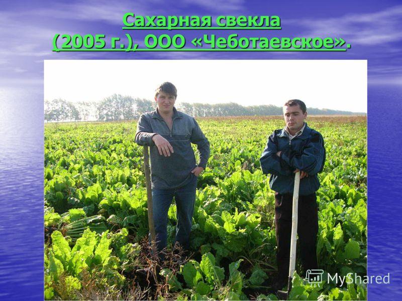 Сахарная свекла (2005 г.), ООО «Чеботаевское».