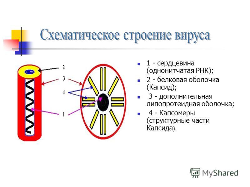 1 - сердцевина (однонитчатая РНК); 2 - белковая оболочка (Капсид); 3 - дополнительная липопротеидная оболочка; 4 - Капсомеры (структурные части Капсида ).