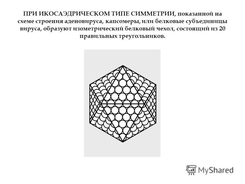 ПРИ ИКОСАЭДРИЧЕСКОМ ТИПЕ СИММЕТРИИ, показанной на схеме строения аденовируса, капсомеры, или белковые субъединицы вируса, образуют изометрический белковый чехол, состоящий из 20 правильных треугольников.