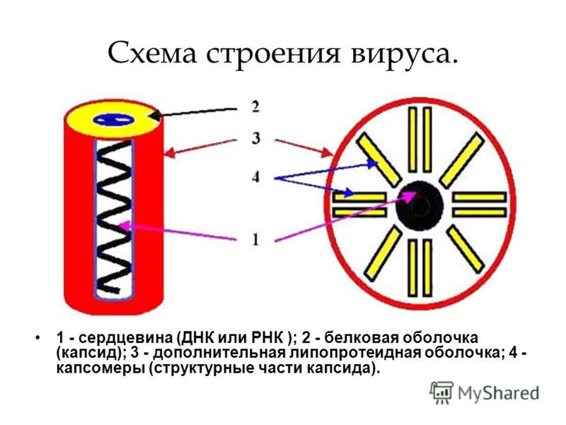 Схема строения вируса. 1 - сердцевина (ДНК или РНК ); 2 - белковая оболочка (капсид); 3 - дополнительная липопротеидная оболочка; 4 - капсомеры (структурные части капсида).