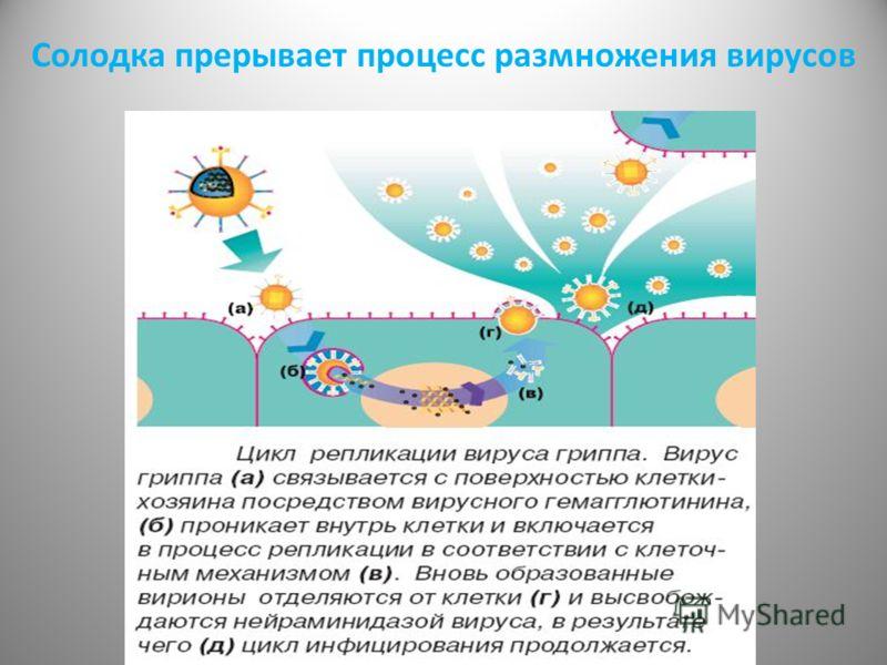 Солодка прерывает процесс размножения вирусов
