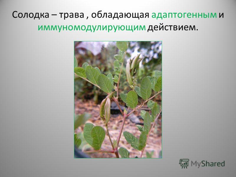 Солодка – трава, обладающая адаптогенным и иммуномодулирующим действием.