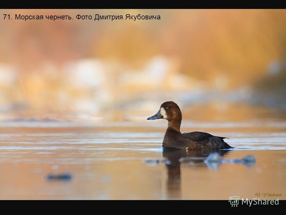 70. Белоспинный дятел. Фото Валерия Юрко