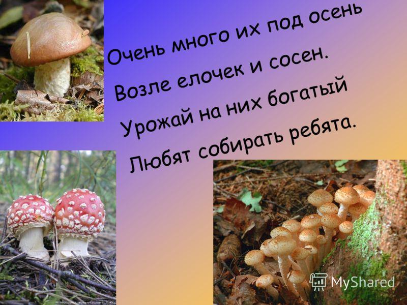 Очень много их под осень Возле елочек и сосен. Урожай на них богатый Любят собирать ребята.