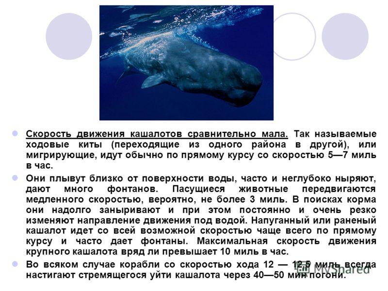 Скорость движения кашалотов сравнительно мала. Так называемые ходовые киты (переходящие из одного района в другой), или мигрирующие, идут обычно по прямому курсу со скоростью 57 миль в час. Они плывут близко от поверхности воды, часто и неглубоко ныр