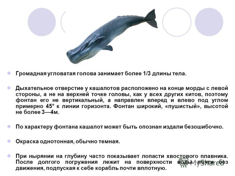 Громадная угловатая голова занимает более 1/3 длины тела. Дыхательное отверстие у кашалотов расположено на конце морды с левой стороны, а не на верхней точке головы, как у всех других китов, поэтому фонтан его не вертикальный, а направлен вперед и вл