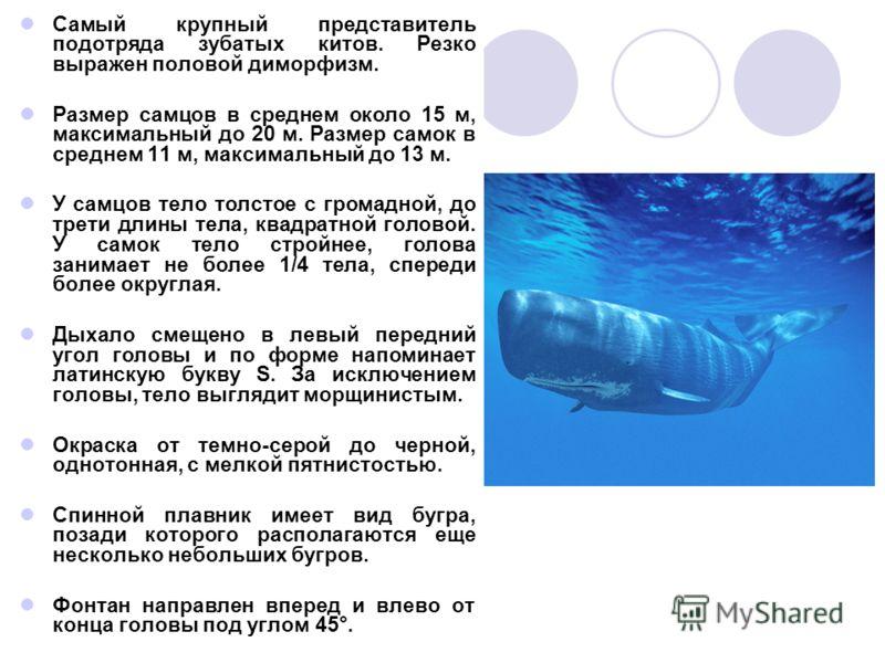 Самый крупный представитель подотряда зубатых китов. Резко выражен половой диморфизм. Размер самцов в среднем около 15 м, максимальный до 20 м. Размер самок в среднем 11 м, максимальный до 13 м. У самцов тело толстое с громадной, до трети длины тела,