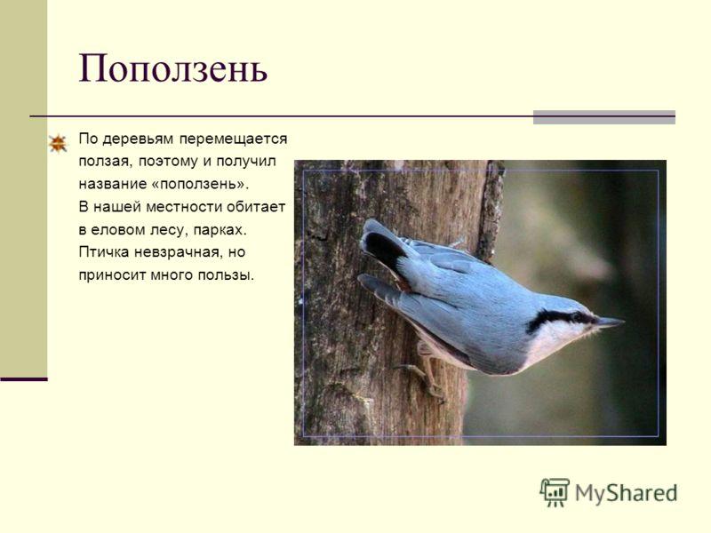 Поползень По деревьям перемещается ползая, поэтому и получил название «поползень». В нашей местности обитает в еловом лесу, парках. Птичка невзрачная, но приносит много пользы.
