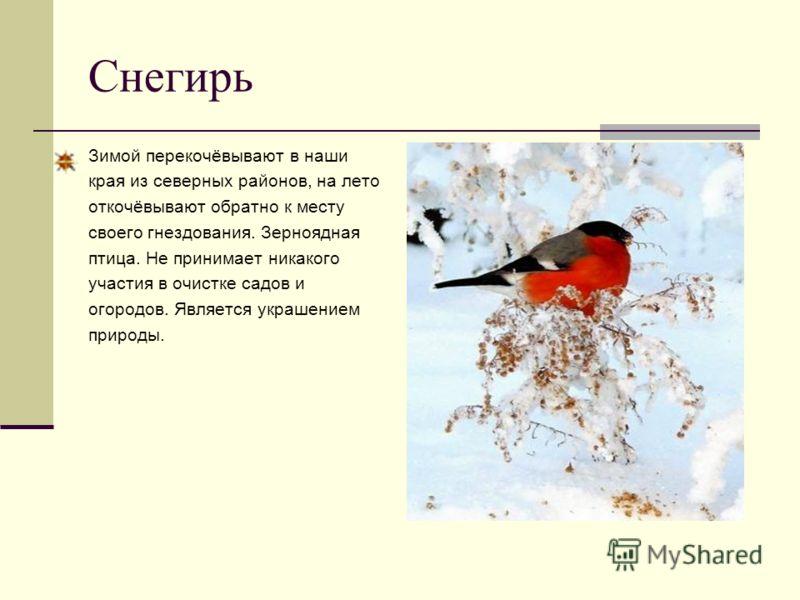 Снегирь Зимой перекочёвывают в наши края из северных районов, на лето откочёвывают обратно к месту своего гнездования. Зерноядная птица. Не принимает никакого участия в очистке садов и огородов. Является украшением природы.