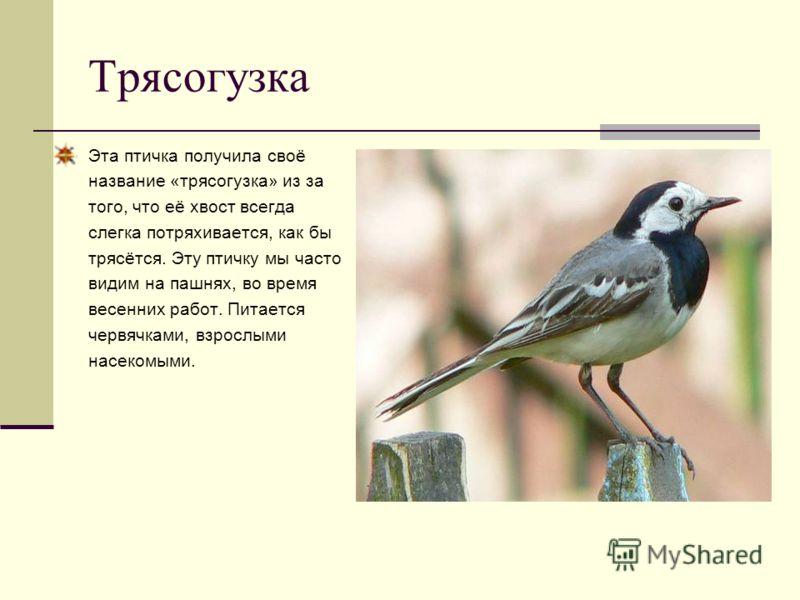 Трясогузка Эта птичка получила своё название «трясогузка» из за того, что её хвост всегда слегка потряхивается, как бы трясётся. Эту птичку мы часто видим на пашнях, во время весенних работ. Питается червячками, взрослыми насекомыми.