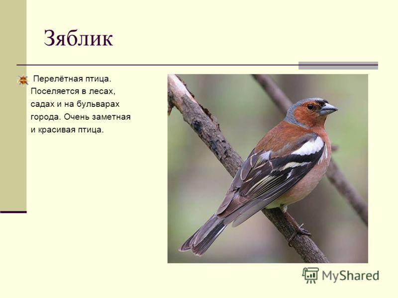 Зяблик Перелётная птица. Поселяется в лесах, садах и на бульварах города. Очень заметная и красивая птица.