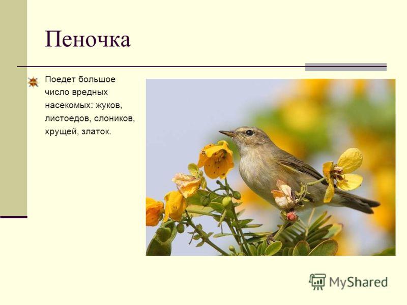Пеночка Поедет большое число вредных насекомых: жуков, листоедов, слоников, хрущей, златок.