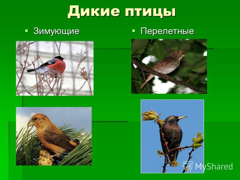Дикие птицы Зимующие Зимующие Перелетные Перелетные