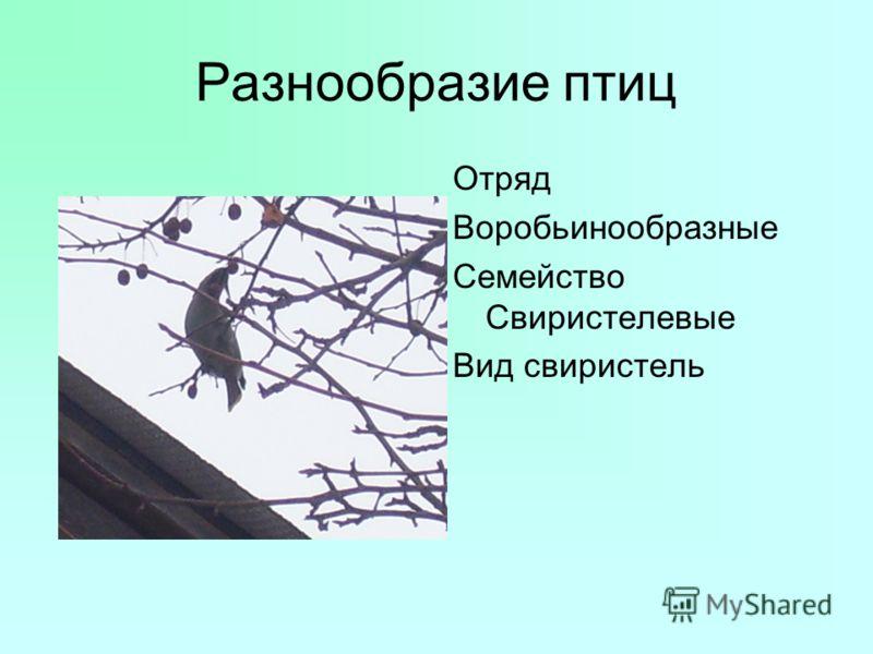 Разнообразие птиц Отряд Воробьинообразные Семейство Свиристелевые Вид свиристель