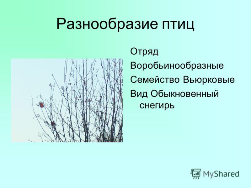 Разнообразие птиц Отряд Воробьинообразные Семейство Вьюрковые Вид Обыкновенный снегирь