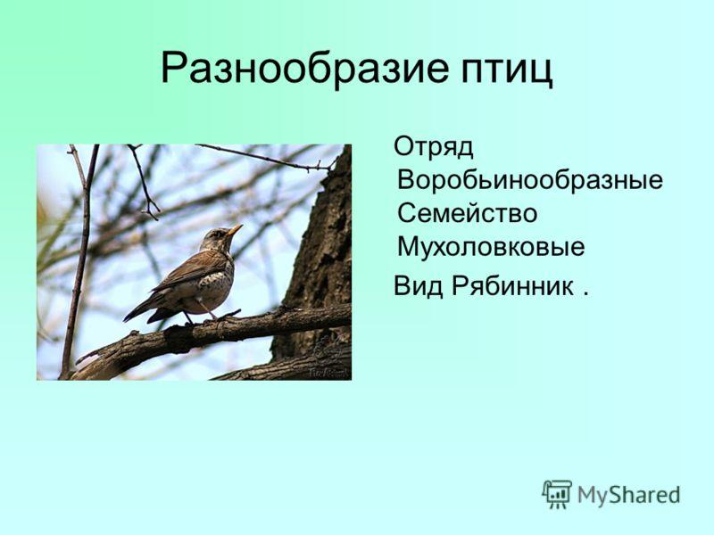 Разнообразие птиц Отряд Воробьинообразные Семейство Мухоловковые Вид Рябинник.