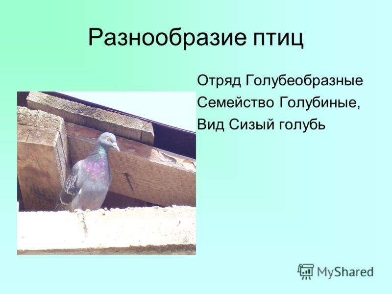 Разнообразие птиц Отряд Голубеобразные Семейство Голубиные, Вид Сизый голубь