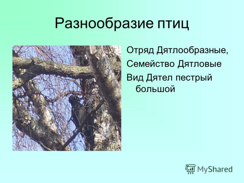 Разнообразие птиц Отряд Дятлообразные, Семейство Дятловые Вид Дятел пестрый большой