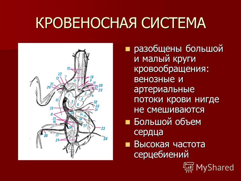 КРОВЕНОСНАЯ СИСТЕМА разобщены большой и малый круги кровообращения: венозные и артериальные потоки крови нигде не смешиваются разобщены большой и малый круги кровообращения: венозные и артериальные потоки крови нигде не смешиваются Большой объем серд