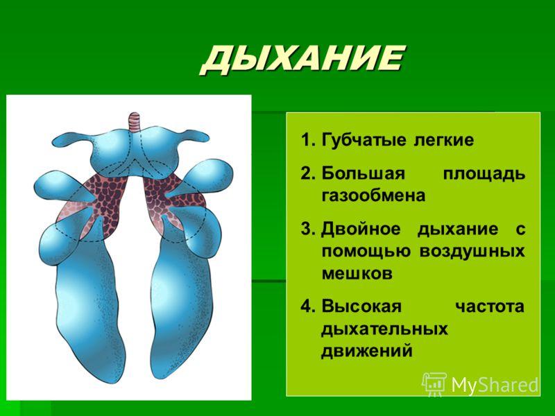ДЫХАНИЕ 1.Губчатые легкие 2.Большая площадь газообмена 3.Двойное дыхание с помощью воздушных мешков 4.Высокая частота дыхательных движений