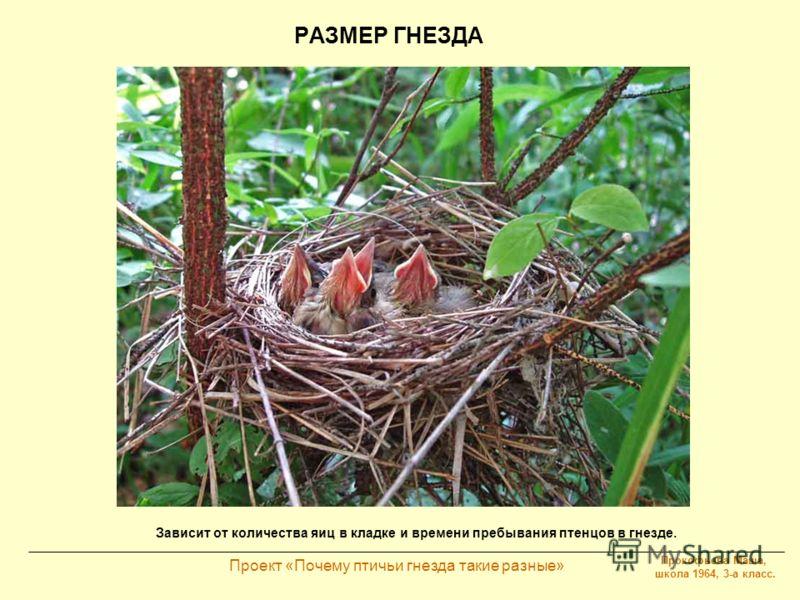 Прокофьева Маша, школа 1964, 3-а класс. Проект «Почему птичьи гнезда такие разные» РАЗМЕР ГНЕЗДА Зависит от количества яиц в кладке и времени пребывания птенцов в гнезде.