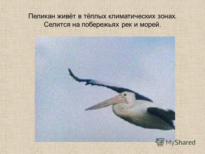 Пеликан живёт в тёплых климатических зонах. Селится на побережьях рек и морей.