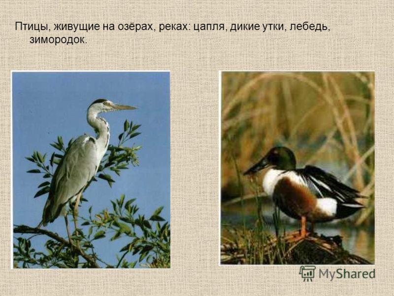 Птицы, живущие на озёрах, реках: цапля, дикие утки, лебедь, зимородок.