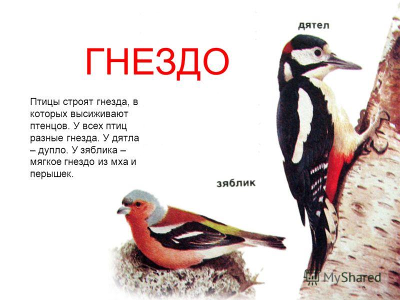 Птицы строят гнезда, в которых высиживают птенцов. У всех птиц разные гнезда. У дятла – дупло. У зяблика – мягкое гнездо из мха и перышек. ГНЕЗДО