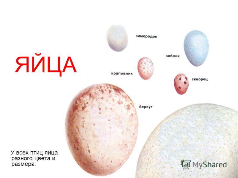 У всех птиц яйца разного цвета и размера. ЯЙЦА
