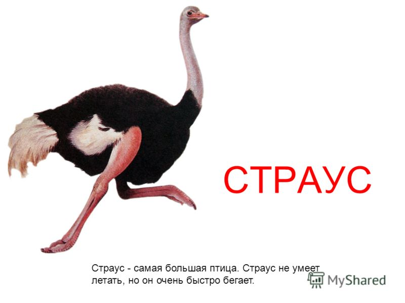 СТРАУС Страус - самая большая птица. Страус не умеет летать, но он очень быстро бегает.