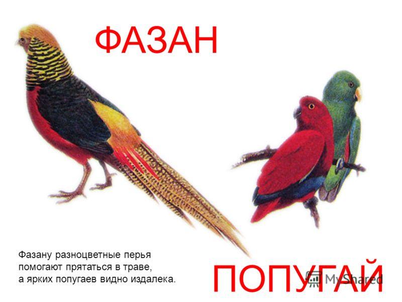 ФАЗАН ПОПУГАЙ Фазану разноцветные перья помогают прятаться в траве, а ярких попугаев видно издалека.