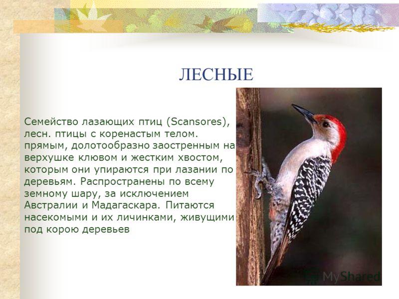 ЛЕСНЫЕ Семейство лазающих птиц (Scansores), лесн. птицы с коренастым телом. прямым, долотообразно заостренным на верхушке клювом и жестким хвостом, которым они упираются при лазании по деревьям. Распространены по всему земному шару, за исключением Ав
