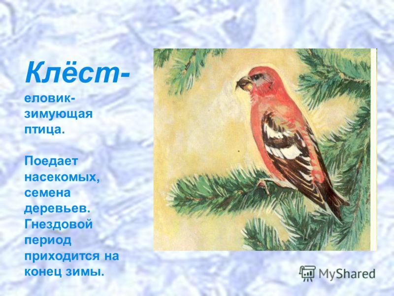 Клёст- еловик- зимующая птица. Поедает насекомых, семена деревьев. Гнездовой период приходится на конец зимы.