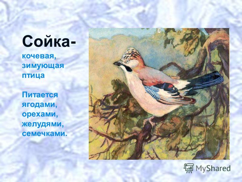 Сойка- кочевая, зимующая птица Питается ягодами, орехами, желудями, семечками.