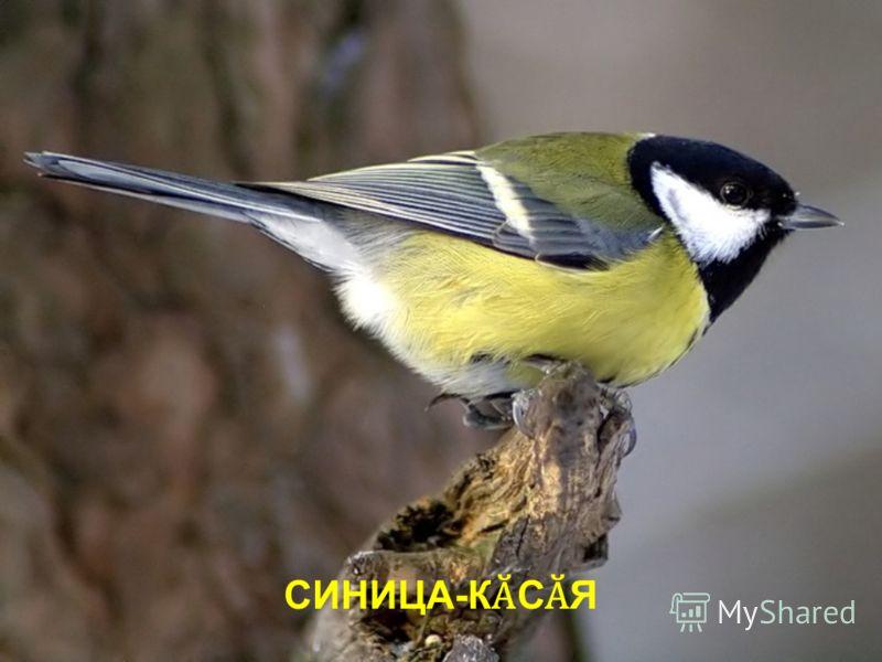 СИНИЦА-К Ӑ С Ӑ Я