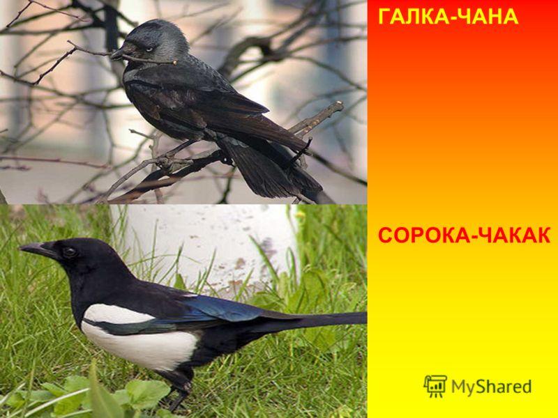 ГАЛКА-ЧАНА СОРОКА-ЧАКАК