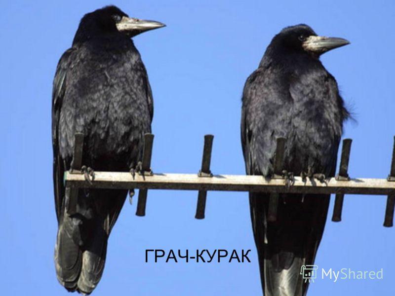 ГРАЧ-КУРАК