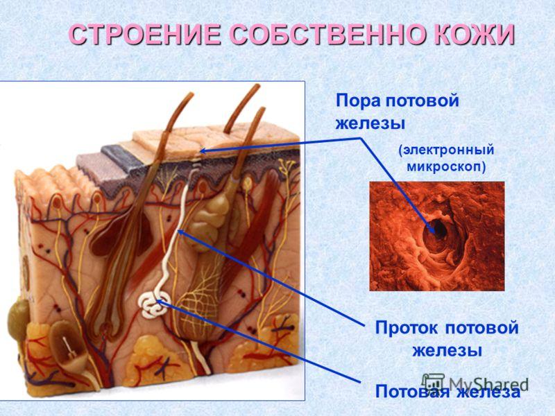 Проток потовой железы Потовая железа Пора потовой железы (электронный микроскоп) СТРОЕНИЕ СОБСТВЕННО КОЖИ