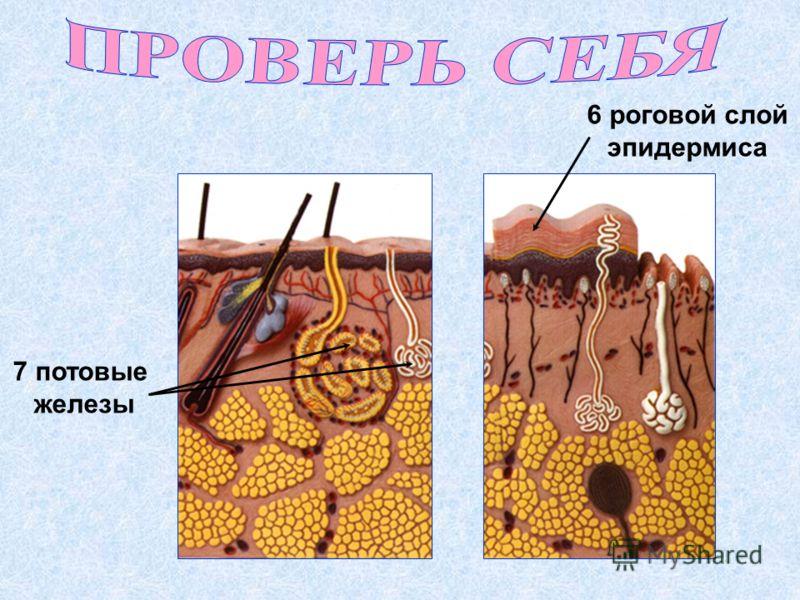 6 роговой слой эпидермиса 7 потовые железы