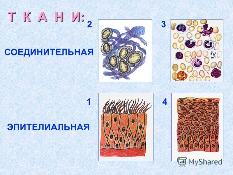 Т К А Н И: СОЕДИНИТЕЛЬНАЯ ЭПИТЕЛИАЛЬНАЯ 14 23